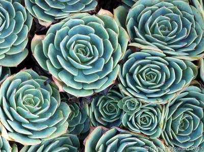 Succulents © Evelyn Howard 2011