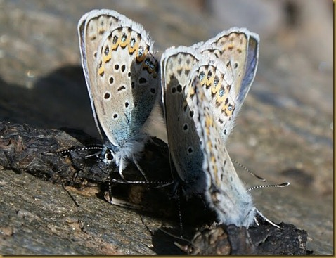 Polyommatus golpus
