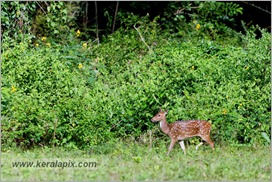_P6A1662_cheetal_deer_mudumalai_bandipur_sanctuary_sanctuary
