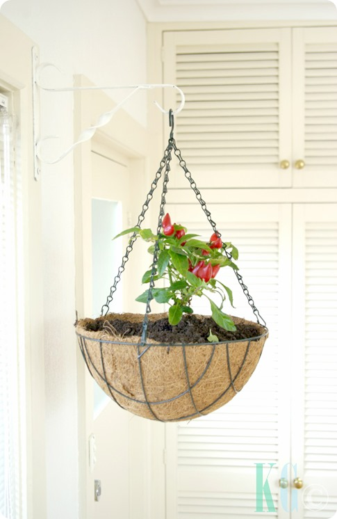 hanging kitchen planters salsa chilli