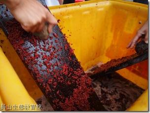 朱紅色的汁液可以讓漁網更堅韌