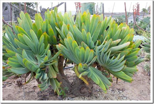 120928_SucculentGardens_Aloe-plicatilis_06