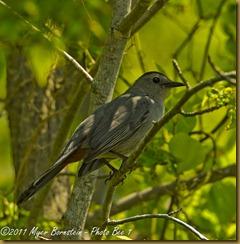 Gray Catbird_D074959 Bombay Hook  May 09, 2011 NIKON D7000