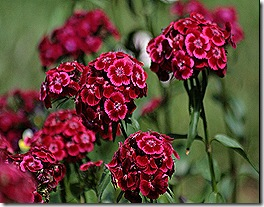 M_Sweet_William_Red
