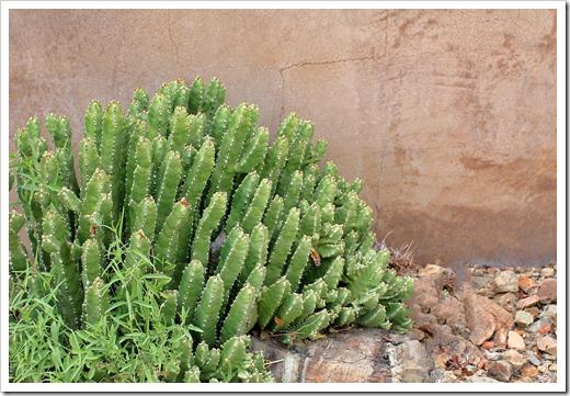 120728_ArizonaSonoraDesertMuseum_Euphorbia-resinifera