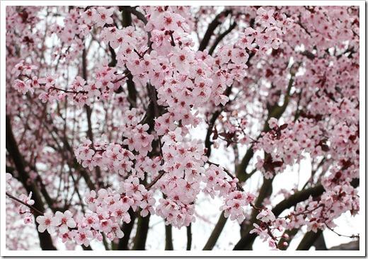 120228_Prunus-cerasifera-Krauter-Vesuvius_19