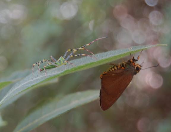 Oxyopidae menaçant un Hesperiidae. Réserve d'Ankarafantsika (50 km à l'est de Majunga), 210 m d'altitude, 7 février 2011. Photo : T. Laugier