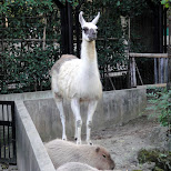 lama at ueno zoo in Ueno, Tokyo, Japan