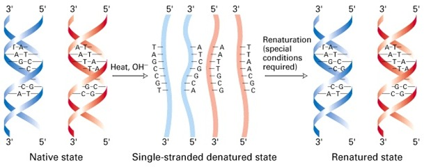 Denaturatin and denaturation