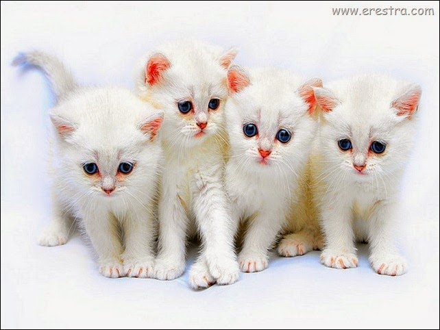 white-purr-fect-kitties