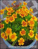 marigolds1017 (2)
