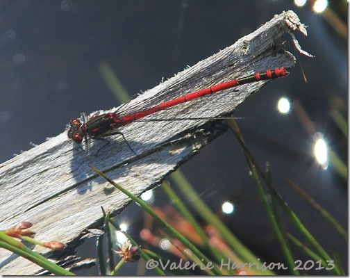 37-large-red-damselfly