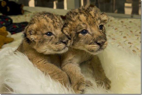 cute-baby-animals-23