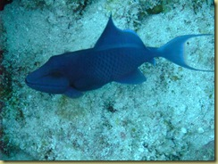 Blue Finned Trigger Fish