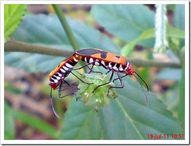 Bapak Pucung (Dysdercus cingulatus) Kawin