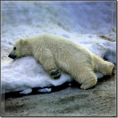 calor oso