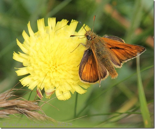 61-large-skipper