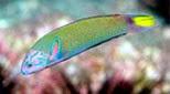 Polynésie girelle paon vert-bleu