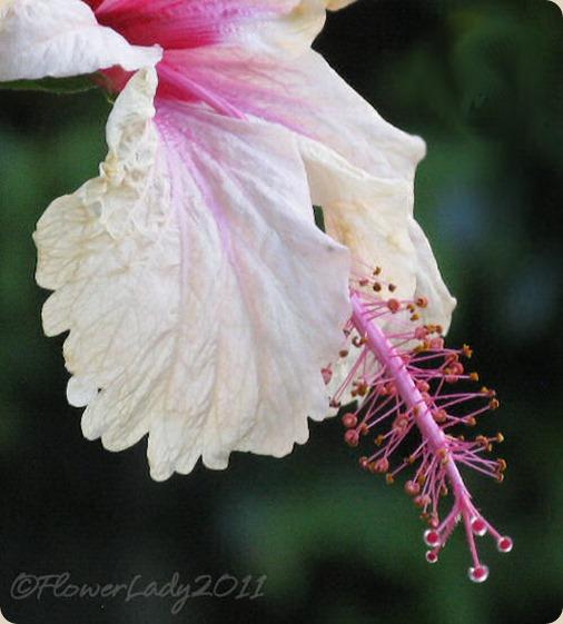 10-22-hibiscus2jpg