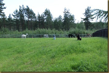 Part of our group of alpacas