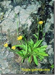 Tolpis glabrescens