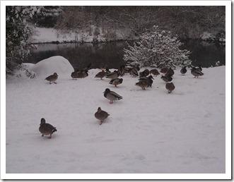 Ducks Along the Sammamish River Trail