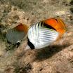 chetoniki_pawiki_parka - Threadfin butterflyfish - Chaetodon auriga.jpg