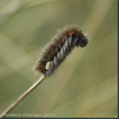 10-parisitised-fox-moth-caterpillar