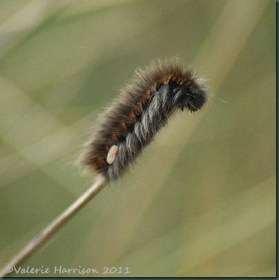 10-parisitised-fox-moth-caterpillar