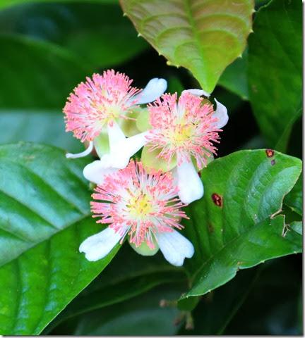 tetracera indica flowers