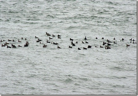 Surf, Black, White-winged scoters, sea ducks