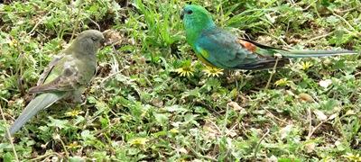 grass_parrot 007