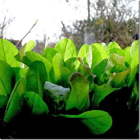 window sill salad leaves