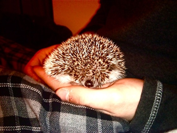Shy Leia the Hedgehog