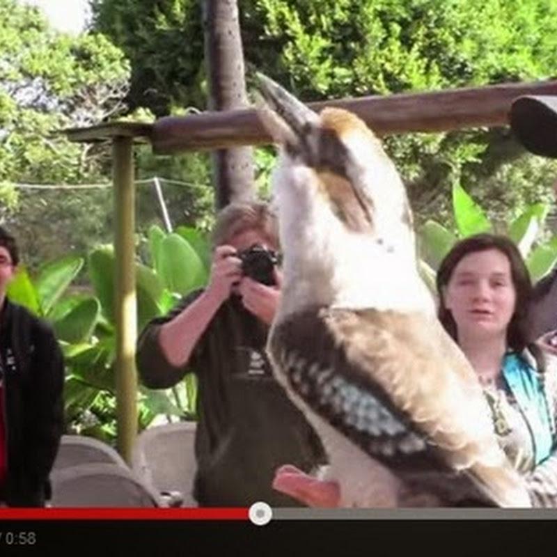 Ηχηρή έκκληση του kookaburra