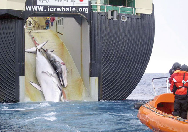 In 2008, in Antarctic waters, the Japanese whaling ship, Nisshin Maru, hauled two dead minke whales on board for processing. Japan hunts the calves of mother whales, knowing the mothers won't abandon them. Australian Customs Service