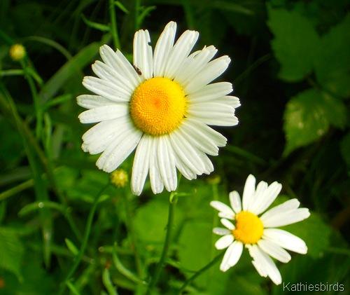 7. daisy-kab