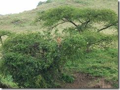 079-木登りライオン