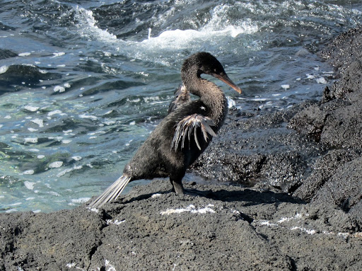 A flightless cormorant, spreading its tiny wings