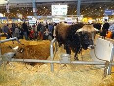 2015.02.26-072 vache Aubrac