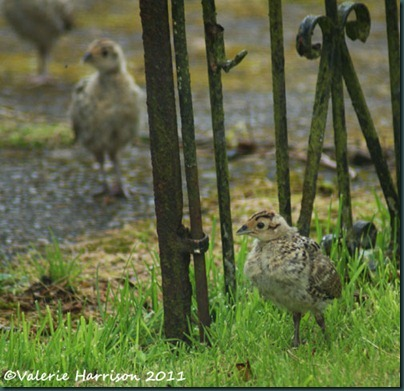 pheasants-through-gate