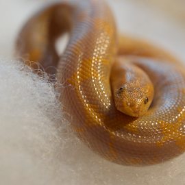 Eryx Colubrinus Loveridgei by Lony Meyer - Animals Reptiles ( snake, eryx colubrinus loveridgei, kenyan sandboa, albino )