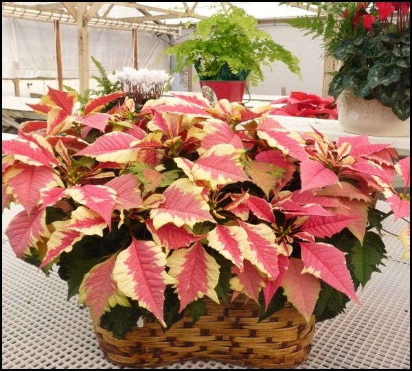poinsettia farm2011 008 (600x800)