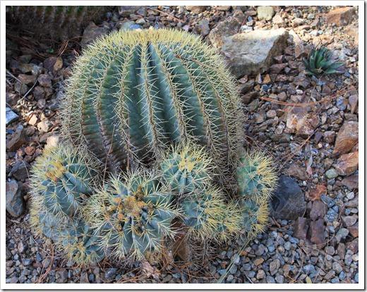 130413_RBG_Echinocactus-glaucescens_01