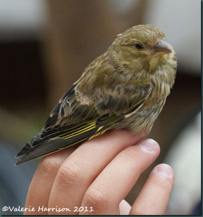 8 Young-greenfinch