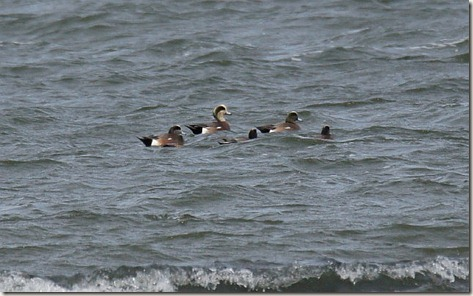 American wigeon, duck