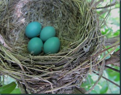 robin eggs0503 (1)