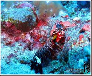 Amazing Pictures of Animals Mantis shrimp stomatopods crustaceans sea locusts (5)