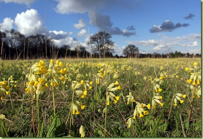 Cowslips on Pinkneys Green