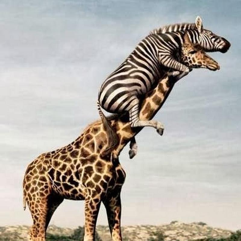 Lucunya Zebra Naik Jerapah